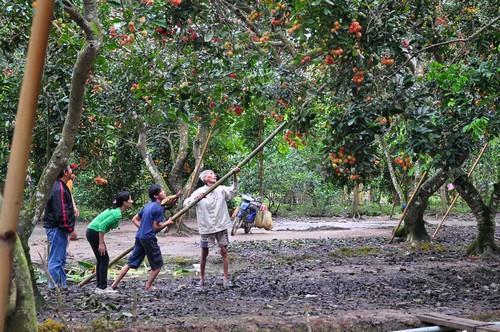 làng cây trái Cái Mơn