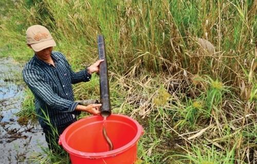 Nghề đặt trúm lươn ở rừng U Minh Hạ