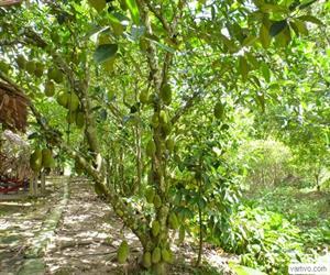 Cù lao An Bình - cây mít sai trái