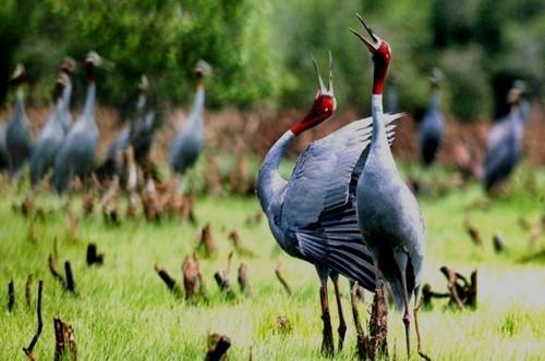 Vũ điệu sếu đầu đỏ ở vườn quốc gia Tràm Chim