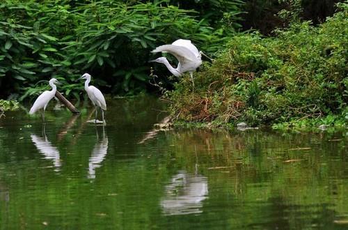 Đảo cò Chi Lăng Nam - cò kiếm ăn bên bờ hồ