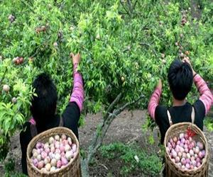 Mộc Châu mùa đào và mận chín