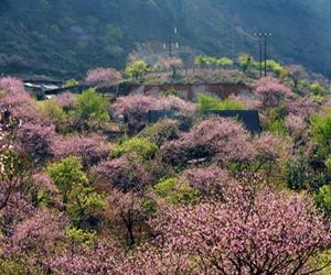 Mộc Châu mùa hoa đào và hoa mận