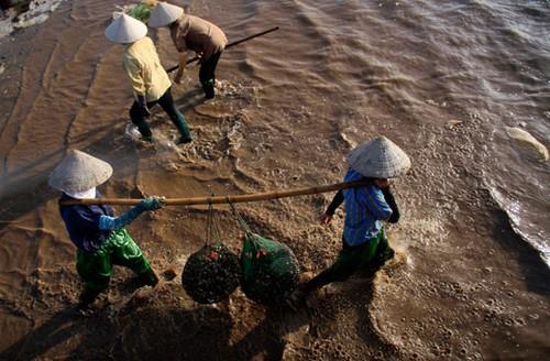 Bãi biển Đồng Châu - người dân thu hoạch ngao