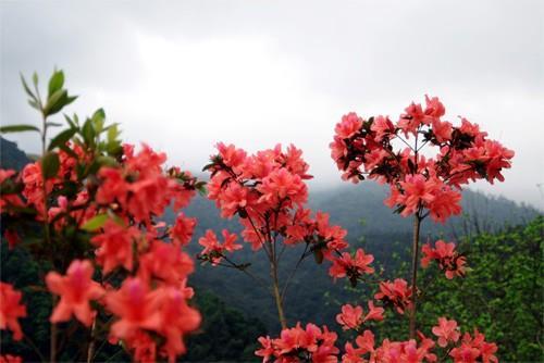 Rừng hoa đỗ quyên