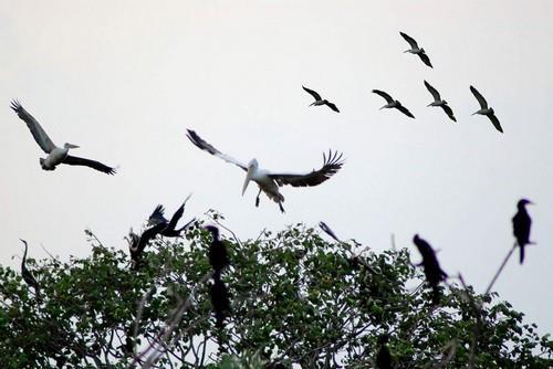 Vườn chim Bạc Liêu gia tăng số lượng chim quý hiếm